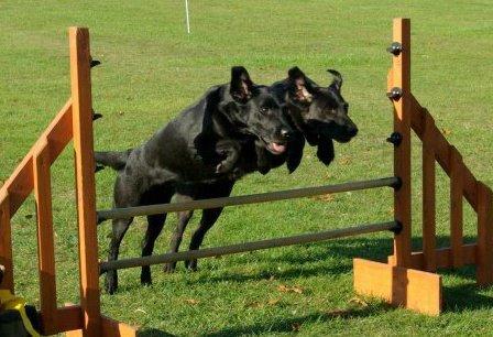 Two dog hurdle